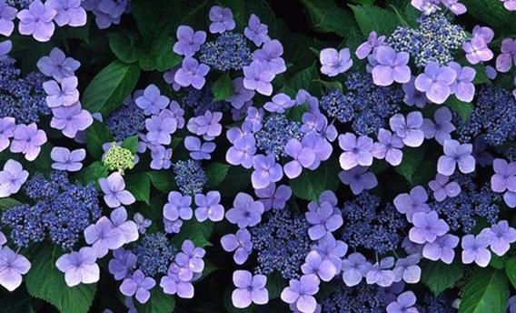 紫罗兰.png