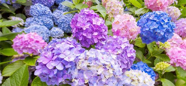 Hydrangea-flowers.jpg