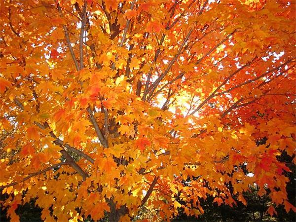 Maple_Trees_in_Thunder Bay.jpg