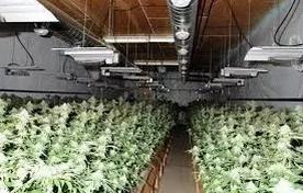 【置业知识】- 大麻限制性合法后,如何识别大麻屋以及卖家在售卖大麻1