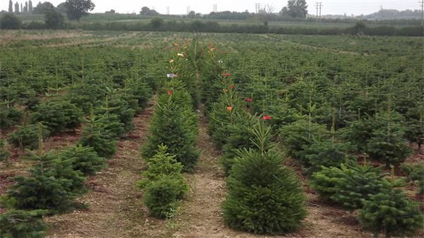谁来点亮圣诞树顶那颗星4