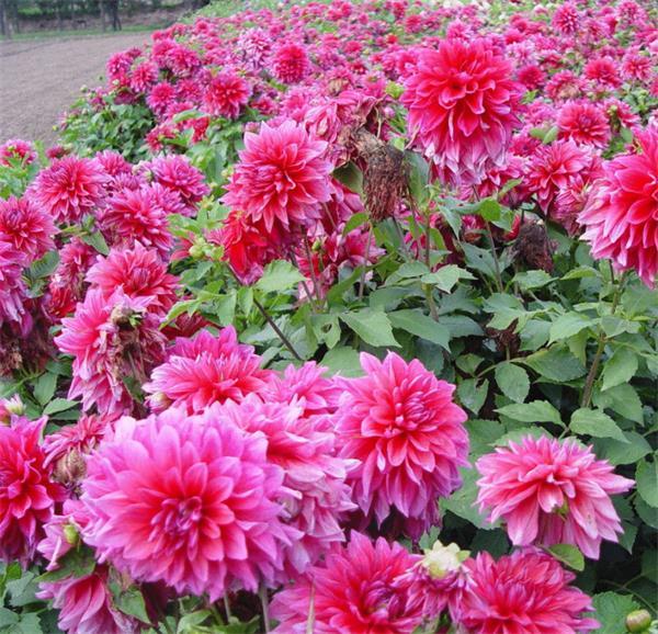 【收藏】让鲜花开满你的庭院4
