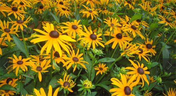 今年春夏你的花园里最易种植的花卉3