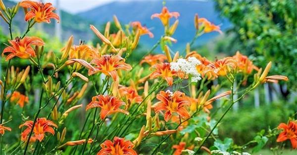今年春夏你的花园里最易种植的花卉4