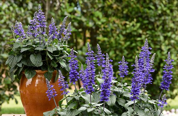 今年春夏你的花园里最易种植的花卉5