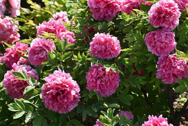 今年春夏你的花园里最易种植的花卉7