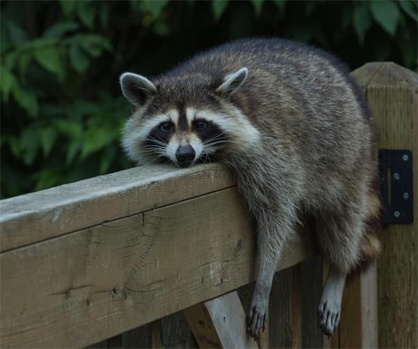 警惕!秋季浣熊等小动物要寻找过冬的地方啦!3