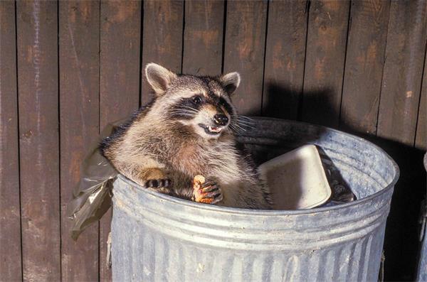 警惕!秋季浣熊等小动物要寻找过冬的地方啦!6