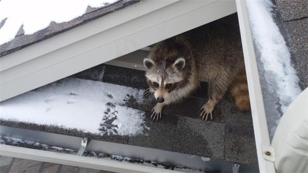 警惕!秋季浣熊等小动物要寻找过冬的地方啦!8