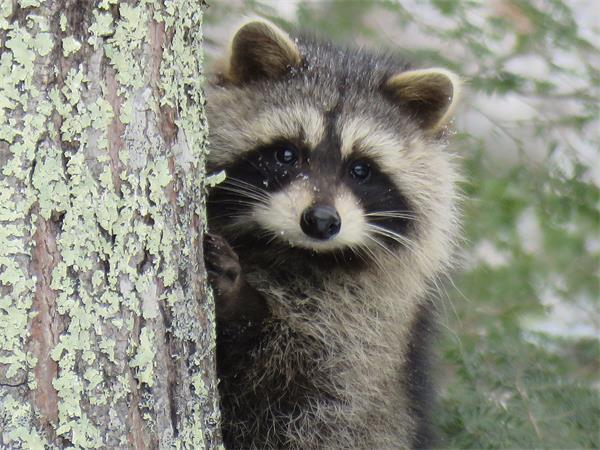 警惕!秋季浣熊等小动物要寻找过冬的地方啦!1