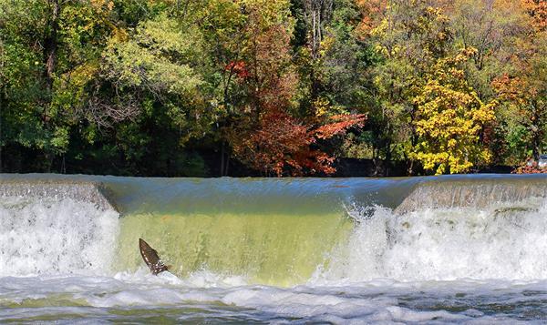 领略秋天又一壮观景象!加拿大三文鱼洄游2