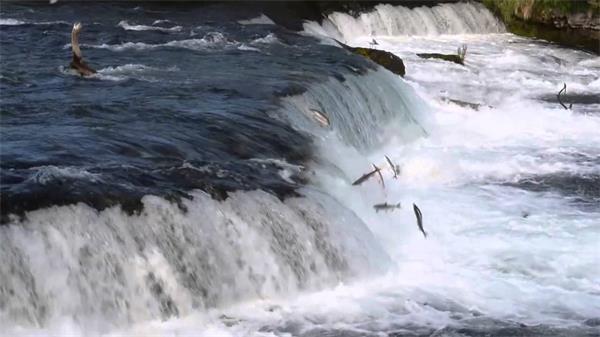 领略秋天又一壮观景象!加拿大三文鱼洄游3