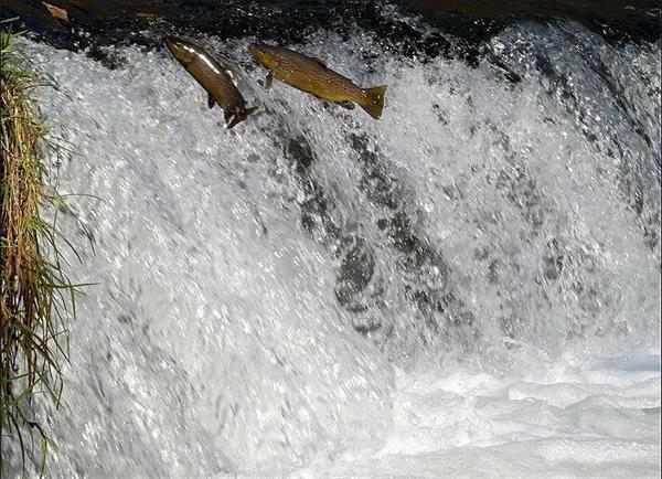 领略秋天又一壮观景象!加拿大三文鱼洄游6